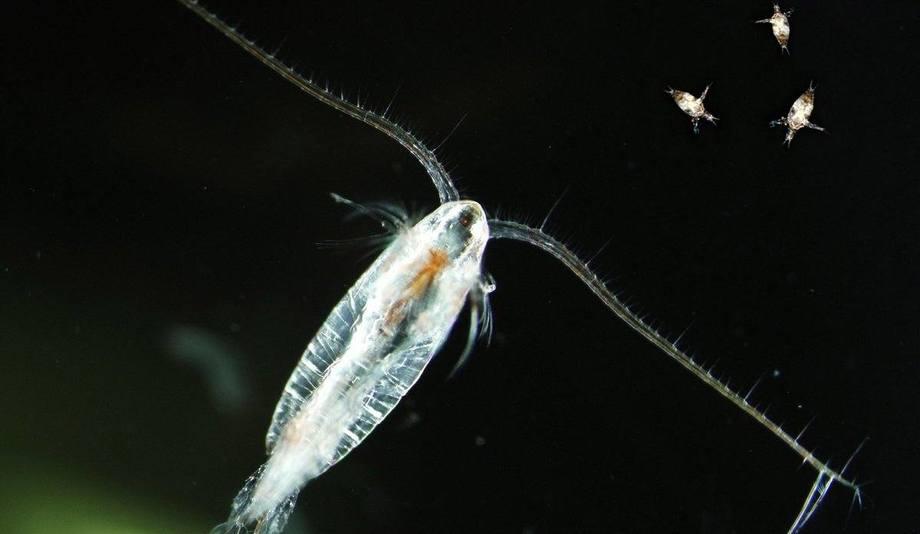 Calanus es la principal especie de zooplancton en el mar de Noruega. Foto: Terje van der Meeren/IMR.