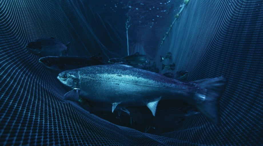 Scotland's salmon farmers want to keep fish in the water longer while access to markets is limited. Photo: Mowi.