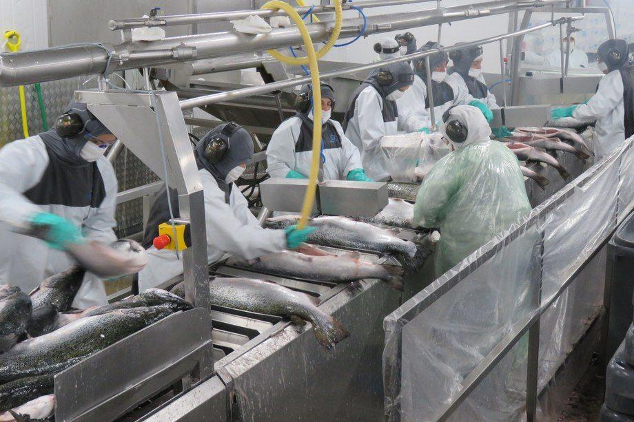 Planta de proceso de salmónidos. Foto: Jonathan Garcés, Salmonexpert.