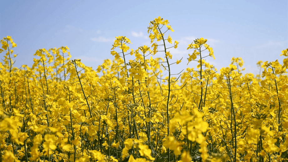 Nuseed has signed an agreement for the processing of the first commercial crop on omega-3 canola. Photo: Nuseed.