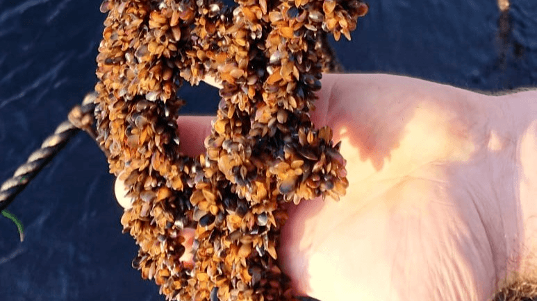 Mussel farms are worked daily to carry out harvesting and grading and control biofouling. Photo: Shetland Mussels Ltd.