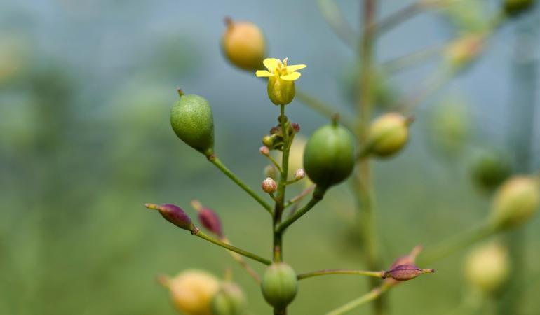 GM camelina has been modified to produce EPA and DHA.