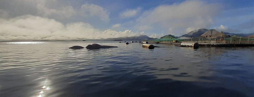 El hallazgo, correspondió a un ejemplar de ballena Sei (Balaenoptera borealis). Imagen: Sernapesca.