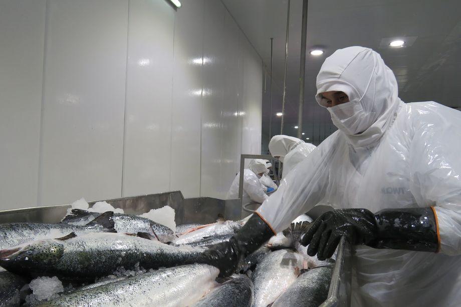 Planta de proceso de salmón. Foto: Jonathan Garcés, Salmonexpert.
