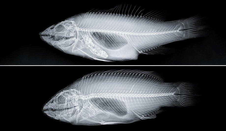Røntgenbildet viser en vill (øverst) og en oppdrettet (nederst) berggylte. Foto: Havforskningsinstituttet