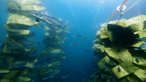 Cleaner fish hides are a common example of enriching the environment in salmon cages.