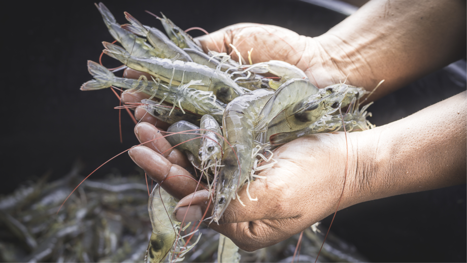 Seal scarer maker OTAQ is moving into the shrimp equipment market by investing in Minnowtech. Photo: OTAQ.