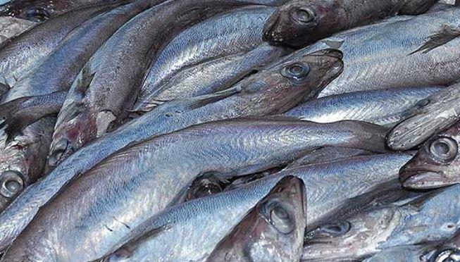 Feed manufacturers say stocks of blue whiting are under pressure. Photo: Scottish Pelagic Fishermen's Association.