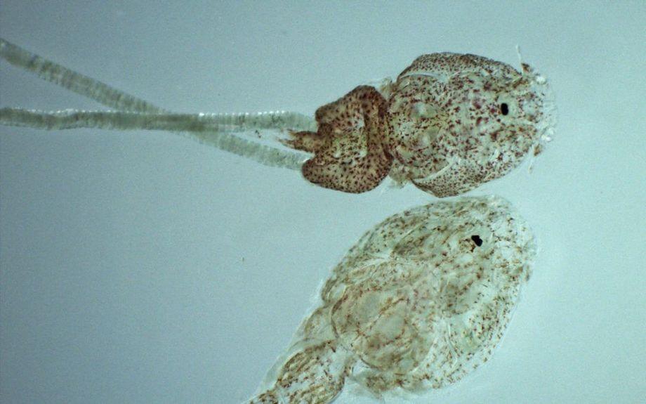 La caligidosis es una enfermedad producida por Caligus rogercresseyi, comúnmente llamado piojo de mar. Imagen: Centro Incar.