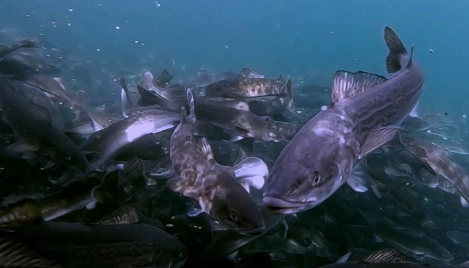 Sablefish in a pen at Gindara's site in Kyuquot Sound, Vancouver Island. Image taken from Gindara Sablefish video.