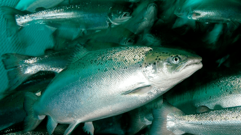 Scotland's salmon farmers used more antibiotics last year than in 2018 but less than in 2017.