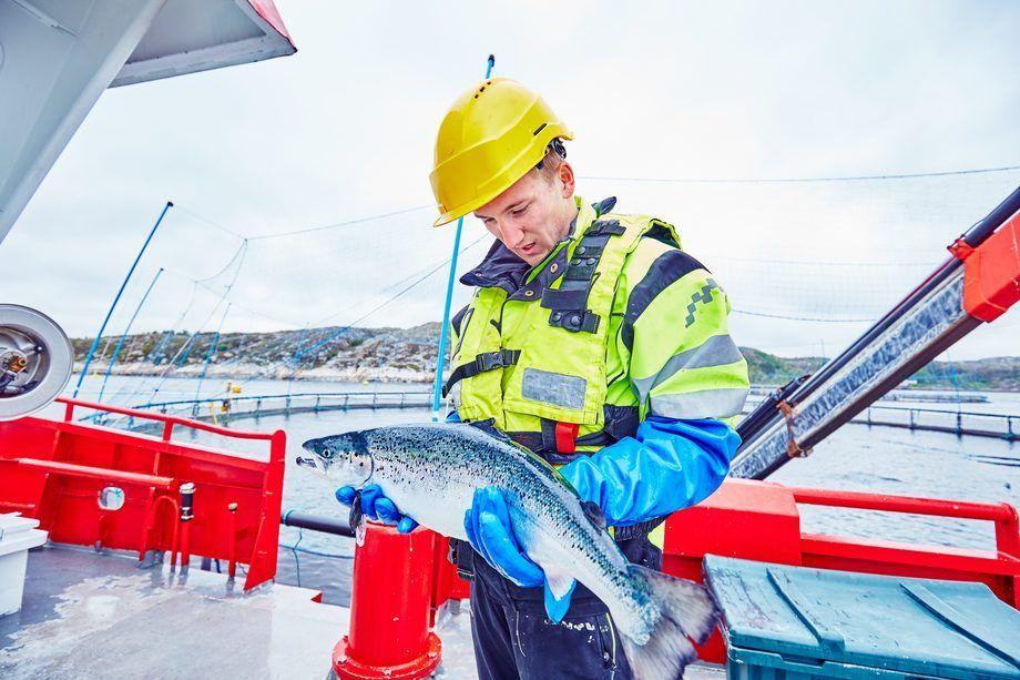 Røkter Sindre Nordskag utfører lusetelling ved lokalitet Espnestaren for Måsøval Fiskeoppdrett. Foto: Måsøval.