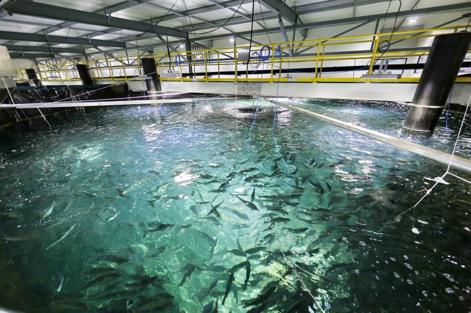 Instalaciones contarán con una capacidad de producción inicial anual de 6 millones de post smolt. Foto: Billund Aquaculture.