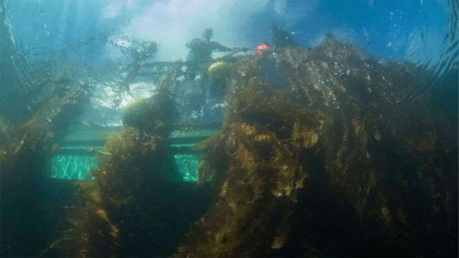 Ocean Rainforest's kelp is grown on lines and is harvested by cutting above the plant's holdfast. This allows re-growth and a second harvest in one season. Photo: Harald Bjoergvin.