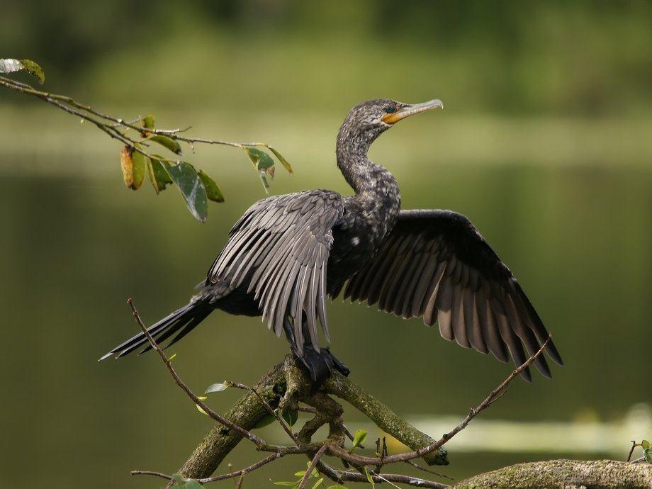 Imagen referencial Phalacrocorax brasilianus. Foto: Hans Hillewaert.