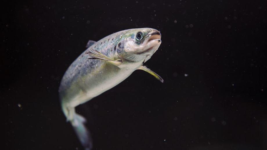 A salmon smolt. Photo: Norwegian Seafood Council.