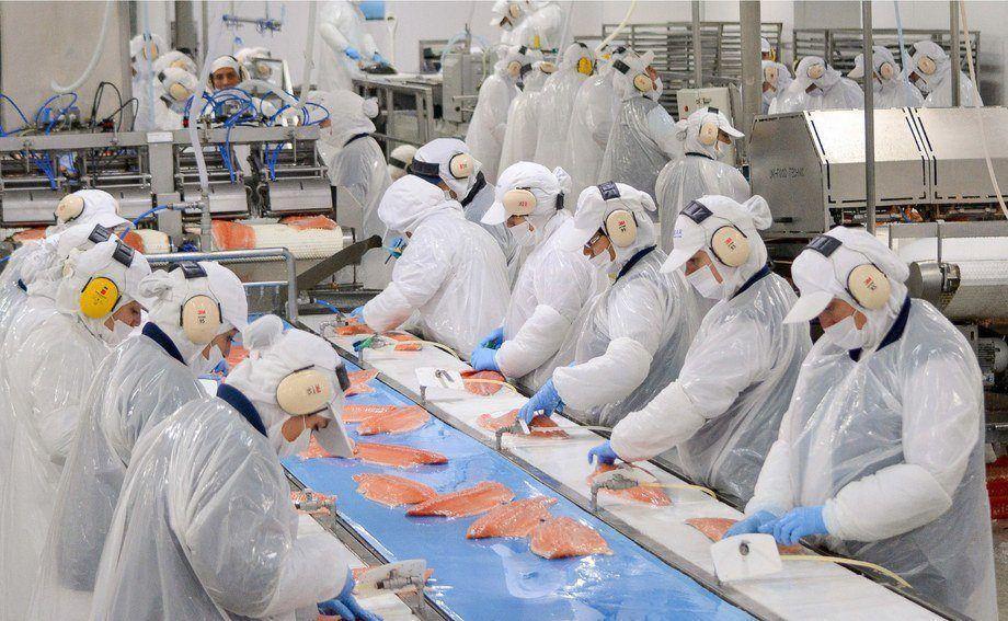 Pecheras ocupadas en plantas de proceso son tratadas y convertidas en materia prima. Foto: Archivo Salmonexpert.