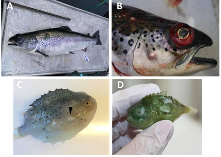 Figur: Pasteurella spp. Infeksjon hos laks (A,B) og rognkjeks (C,D). Foto: Rebecca Marie Ellul/UiB