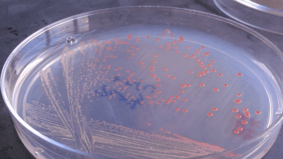 Culture change: KnipBio says its bacteria-based single cell protein feed may remove the need to purge RAS fish. Photo: KnipBio.