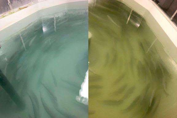 Colour of the water in the tank during the trial shows the turbidity with ozone addition, left, and without, right. Photo: Kevin Stiller@Nofima.