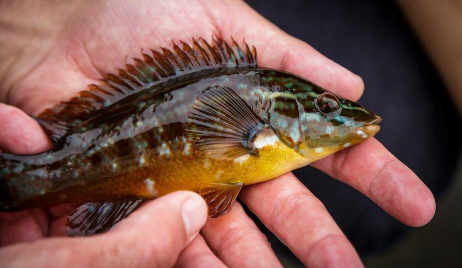 Berggylt er den største av leppefiskane, og er populær som reinsefisk i oppdrettsanlegg.  Fotograf: Erlend A. Lorentzen / Havforskningsinstituttet