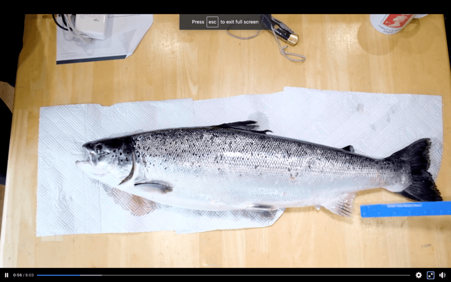 From a video showing the most common indicators of a farmed fish. Photo: Ayrshire Rivers Trust