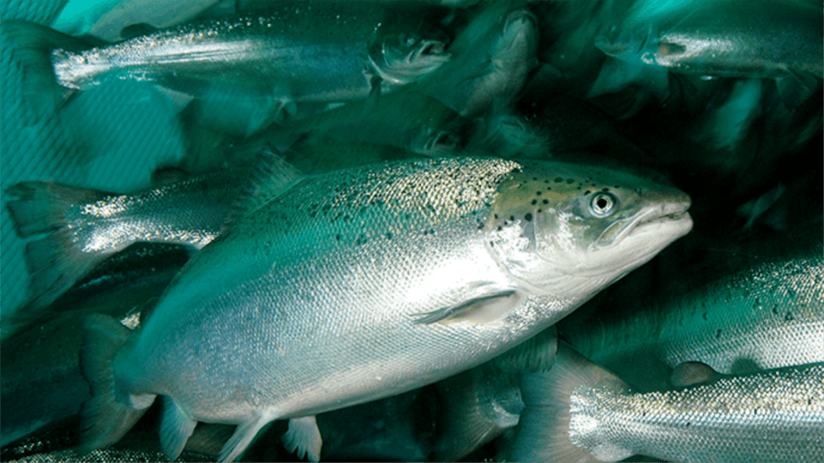 The Magallanes region recorded its largest salmonid harvest, with 111,556 tonnes in 2019. Photo: Archive.