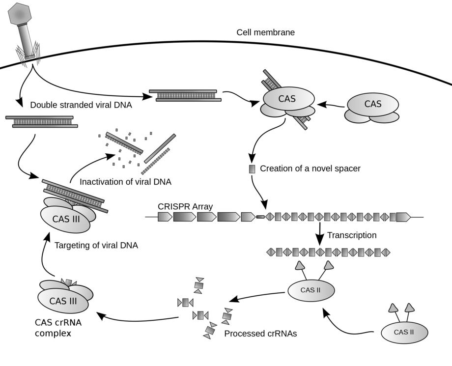 CRISPR mekanismen slik den kan fungere for å redigere gener. Illustrasjon: James Atmos/WIkipedia