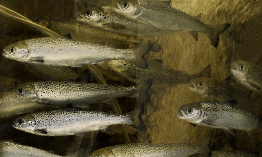 De acuerdo con Sernapesca, al primer semestre de 2019, la enfermedad BKD pasó a representar el 15% de la mortalidad de salmónidos en Chile. Foto: Salmonexpert.