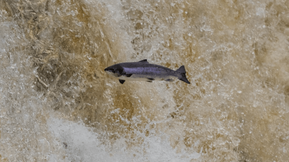 An adult Atlantic salmon jumping from the water at the research catchment in Burrishoole, Mayo. Photo: © Mikkel René Andersen.