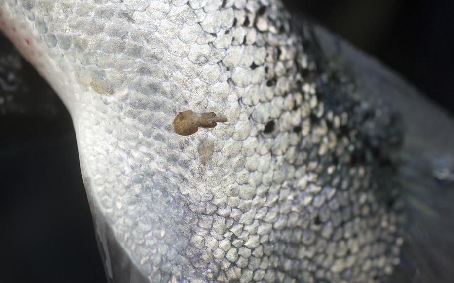Lakselus fester seg til skinnet til laks og lever av blod og slim. Hvis laksen ikke behandles mot lakselus, kan parasittene lage sår som kan gjøre at fisken blir stresset og kan dø. Foto: Helge Skodvin/Nofima.