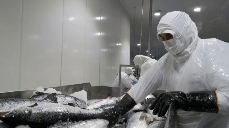 Procesamiento de salmón en planta de Mowi Chile. Foto: Jonathan Garcés, Salmonexpert.
