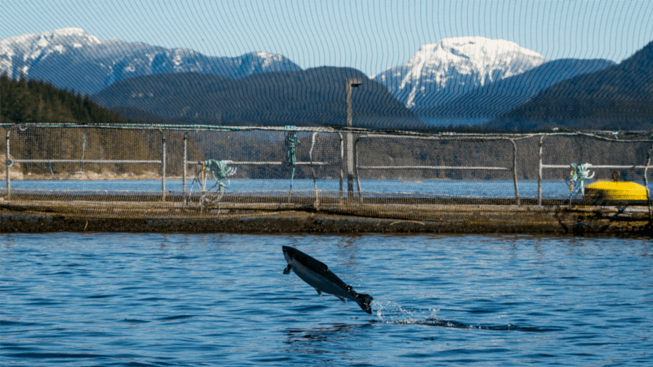 A salmon jumps out of the water at a Mowi fish farm at Osikollo, British Columbia. The FAO's pre-final review of aquaculture in North America will be presented tomorrow. Photo: Eiko Jones/Mowi.