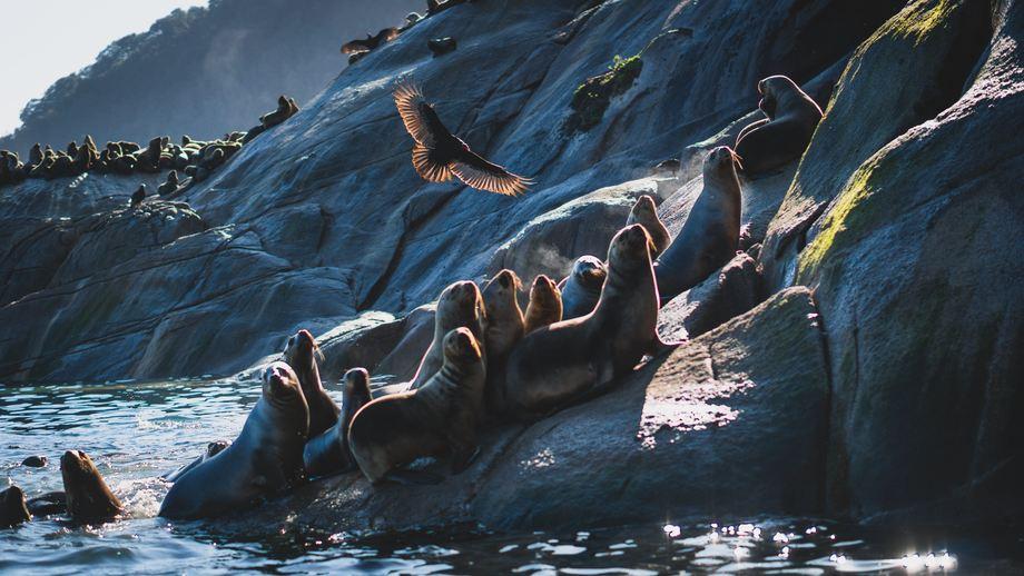 Lobos marinos sudamericanos. Foto: Cedida.