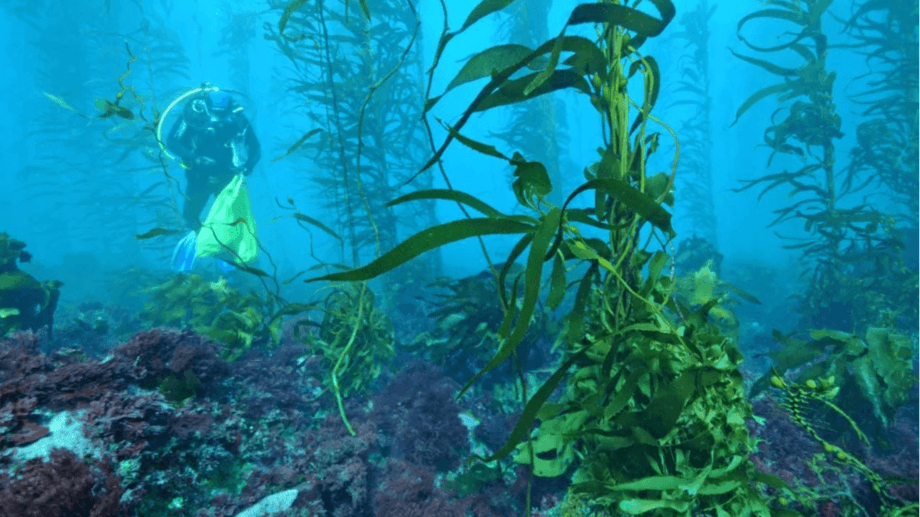 Tasmania's giant kelp forests have almost disappeared because of warming seas. Photo: IMAS.