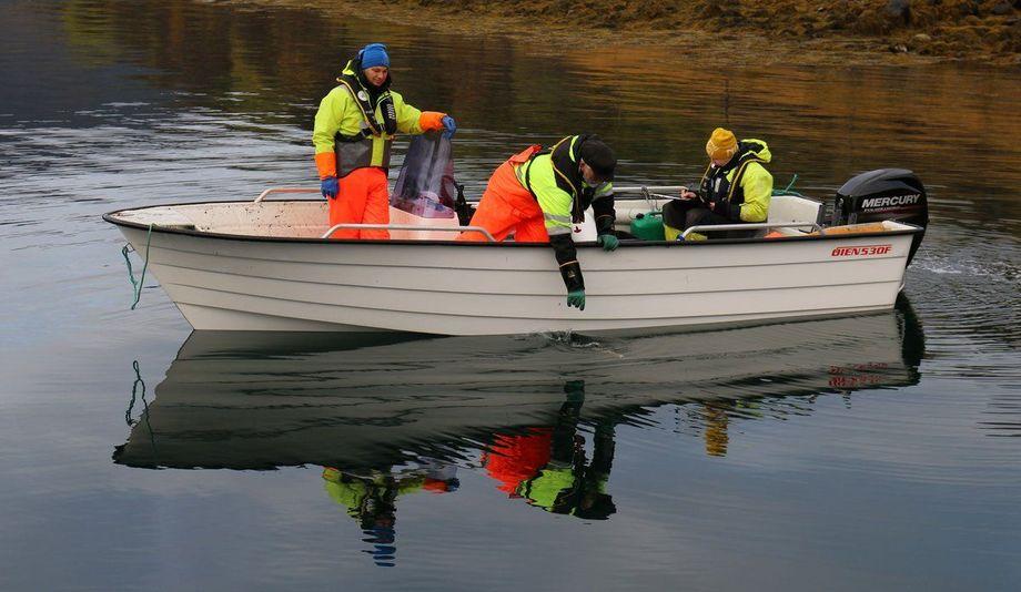 Forskerne bruker ruser for å fange fisk som skal undersøkes. Her skal de ta opp en av rusene de har ute.  Fotograf: Rune Nilsen/Havforskningsinstituttet