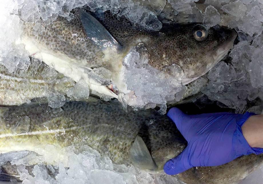 NorCod har forventninger til at markedet vil verdsette tilgang på fersk torsk, av høyeste kvalitet, året rundt. Foto: NorCod
