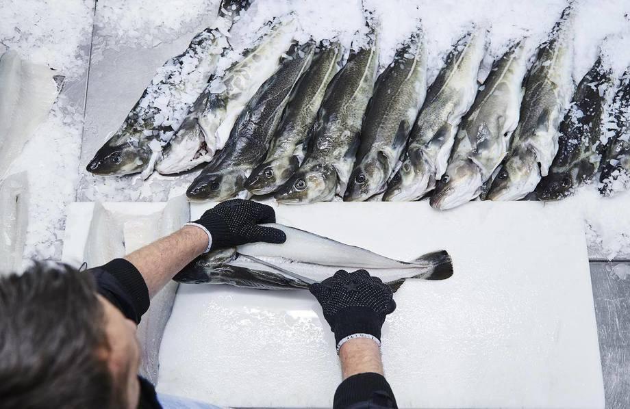 Norcod-torsk blir filetert og selskapet melder kjøttet viser høy kvalitet. Foto: Norcod.