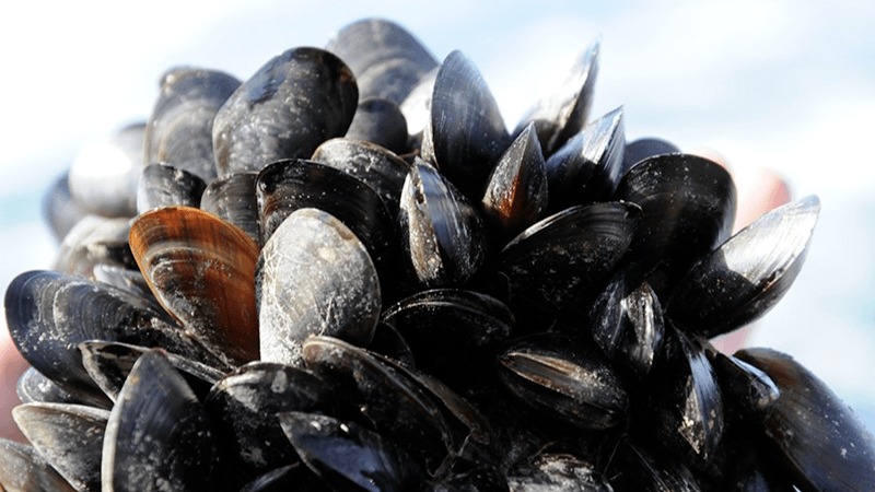 Scotland has the potential to increase production of shellfish such as mussels, but spat harvests can be unreliable. Photo: SAMS.