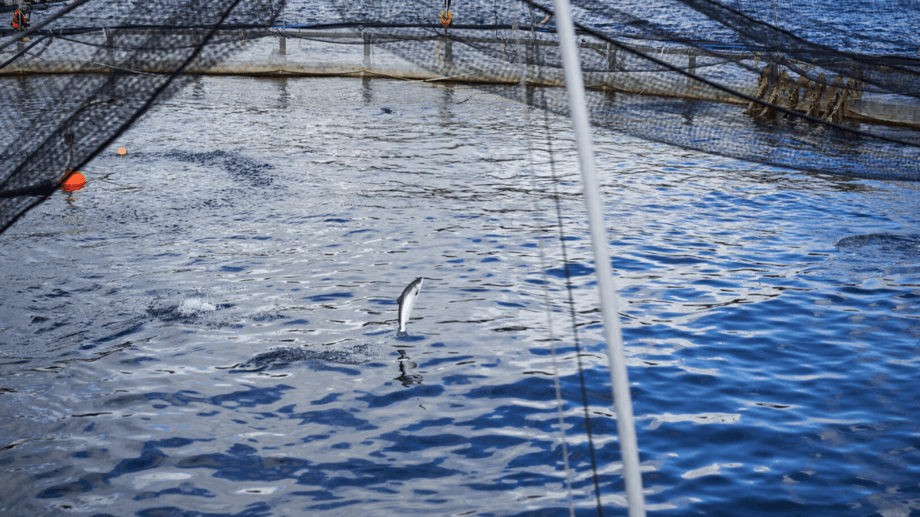 A fish jumps out of the water at Mowi Scotland's Carradale farm. The Scotland operation had a good Q4. Photo: Mowi / Upfront Photogrpahy / Dynam.