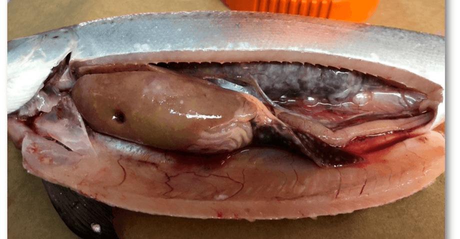 Necropsia de un pez con cuadro clínico de BKD: Foto: Archivo ADL.
