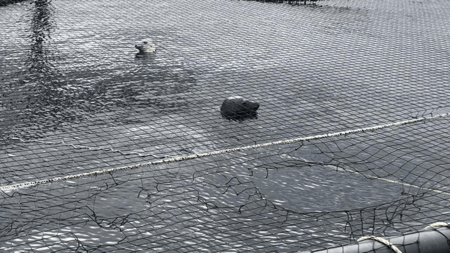 Seals swimming in a salmon pen after biting a hole (bottom right) in the bird protection netting. Photo: SSPO.