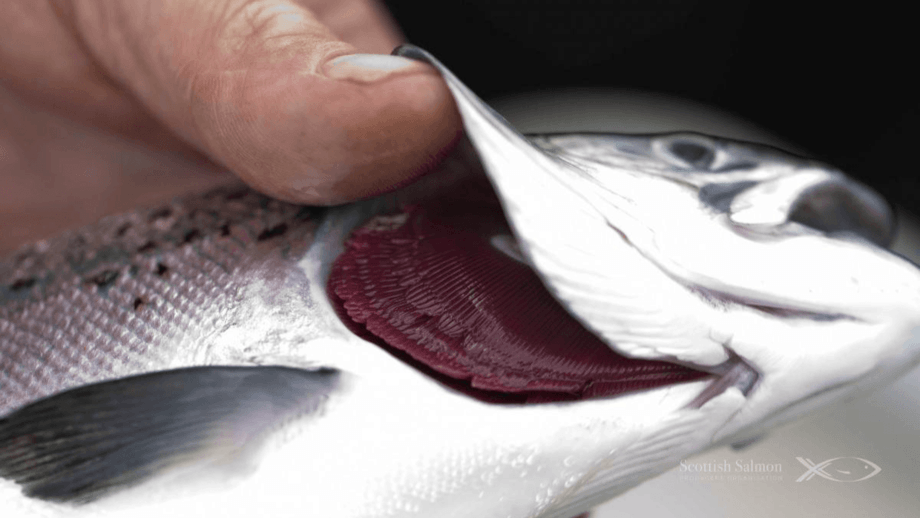 A healthy Scottish salmon. A study has found no evidence of the Covid pandemic impacting salmon welfare. Photo: SSPO.
