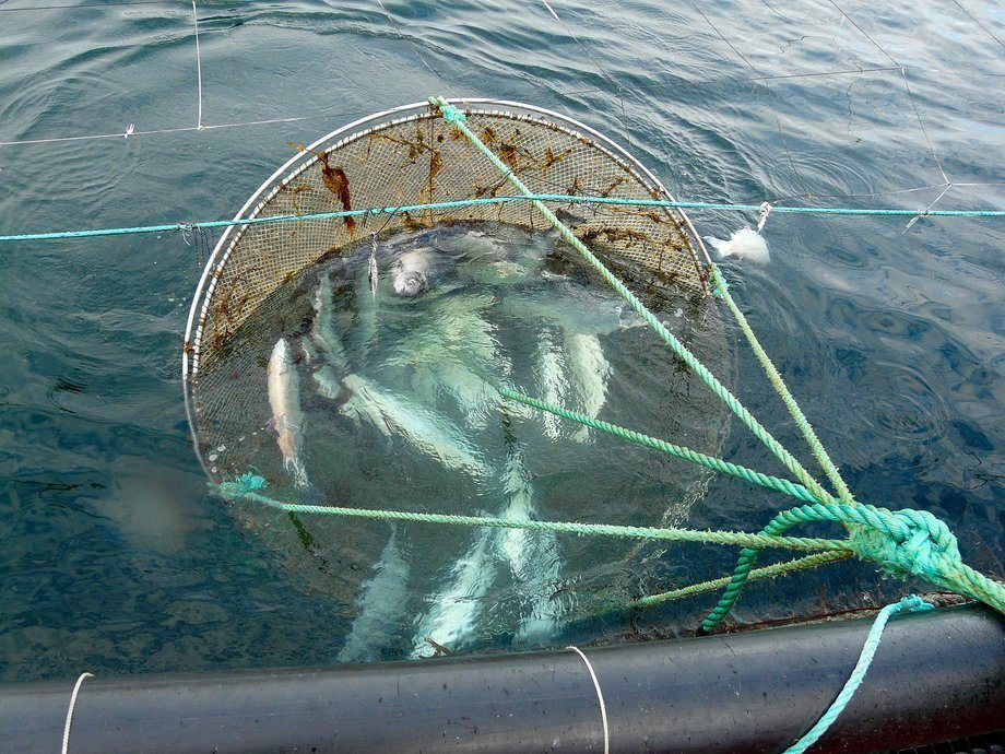 Imagen referencial de mortalidad de salmones. Foto: Archivo Salmonexpert.