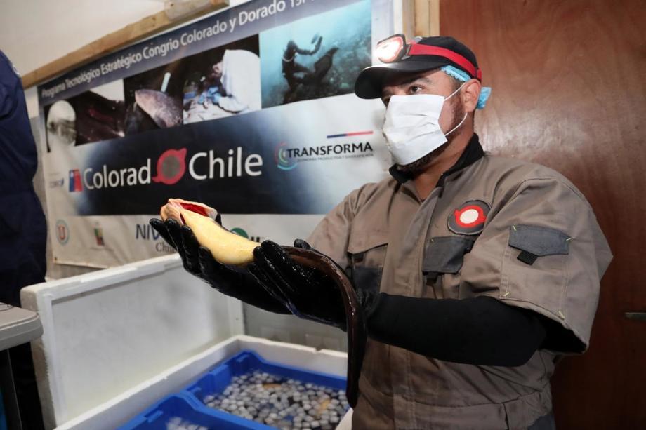 Congrio de la primera cosecha de cuatro toneladas de entre 500 y 700 gramos. Foto: Colorado Chile.
