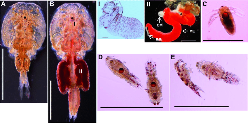 Illustrasjon som viser fett i lakselus. Hentet fra Muhammad Tanveer Khan et al. 2018: «<I>Molecular characterization of the lipophorin receptor in the crustacean ectoparasite Lepeophtheirus salmonis</I>». Figurtekst: Farging av fett i lakselus med fargestoffet «Oil Red O». Kjønnsmoden hann (A) og kjønnsmoden hunn (B). Lagring av fett ble sett hovedsakelig i modne egg (II) men også i ovariene(I) til kjønnsmodne hunnlus. Fett deponert fra hunnlus ble funnet som dråper i plommesekken til nyklekkete nauplii (C). En reduksjon i fettreserver ble ikke sett i kopepoditter 7 dager etter klekking (D) sammenlignet med nyklekkete nauplii, og ingen fettdråper ble funnet i kopepodids 10 dager etter klekking (E). Skala-linjer: A, B, BII, C-E = 1 mm, BI = 200 μm. Forkortelser: CM, cement gland (festesekret-kjertel); ME, mature eggs (modne egg); IME, immature eggs (umodne egg).