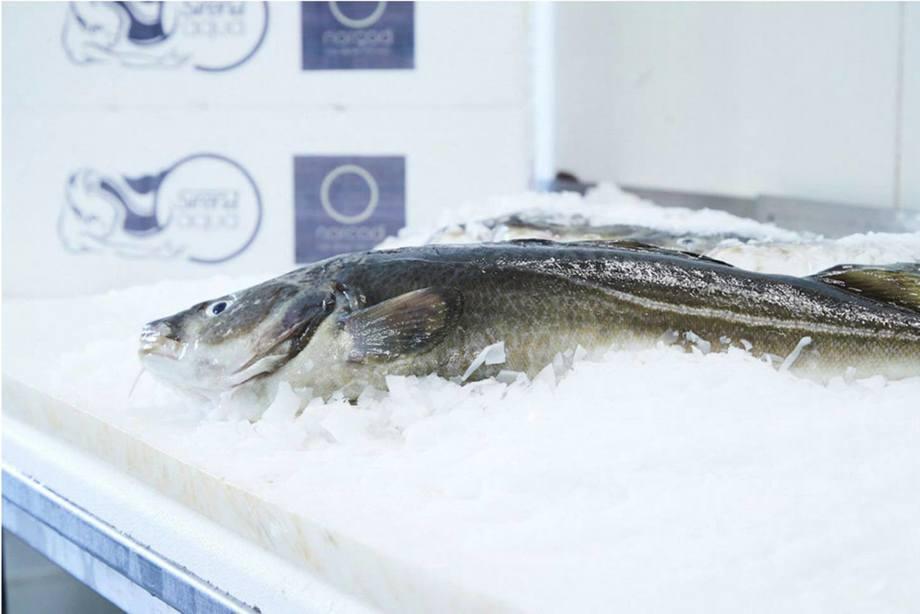 Norcod har slaktet sin førte torsk, men bygger samtidig opp mer biomasse. Så langt har de ervervet tillatester til vel 10 000 tonn MTB. Foto: Norcod