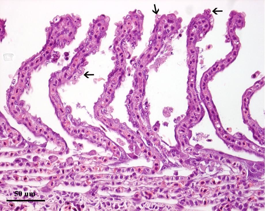 Histologi av gjeller fra villfanget stamfisk av laks infisert med salmon gill poxvirus. Pilene indikerer infiserte celler som felles av fra gjellene. Foto: Mona C. Gjessing