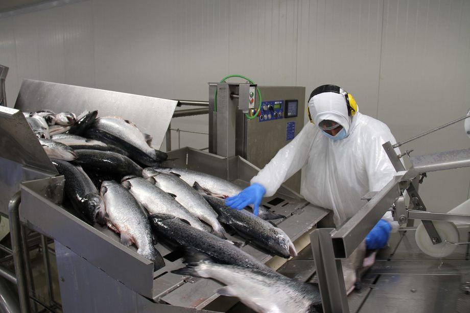 Planta de proceso de salmón Entrevientos. Foto: Entrevientos.