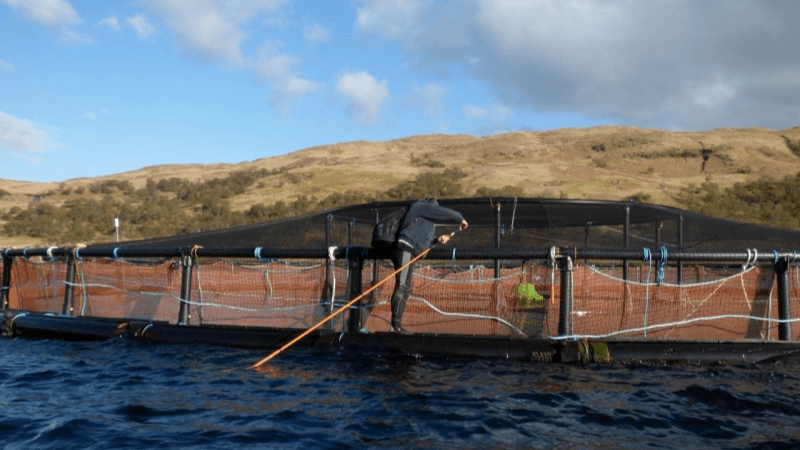 Anti-salmon activist Don Staniford preparing to use a long pole and a Go-Pro camera to film salmon inside a pen at Scottish Sea Farms' Loch Spelve site on the evening of May 7, after staff had  gone home. Photo: Don Staniford.